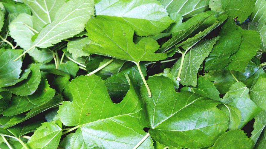 桑の葉で血糖コントロールしよう